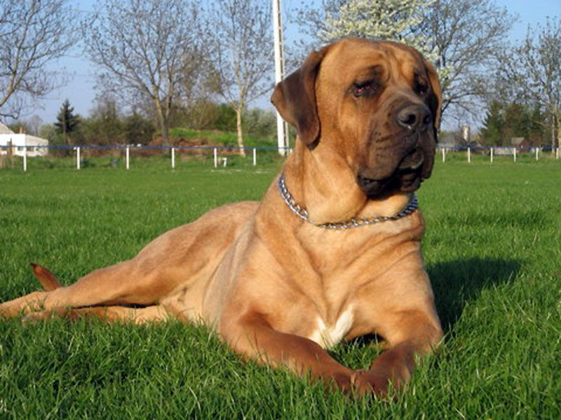 Bully Kutta This Mastiff Is Used For Bear Fighting In Some