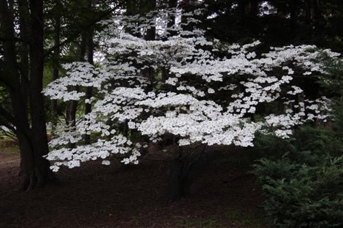 Cornus Florida Cloud 9 Cloud 9 Flowering Dogwood Backyard Trees Landscaping Inspiration Small Trees
