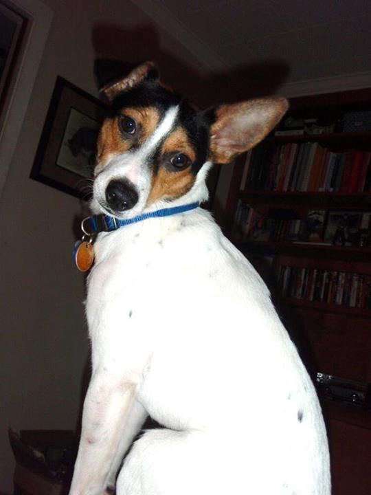 A Jack Russell Rat Terrier Rescue Named Buddy Roverbook Rat