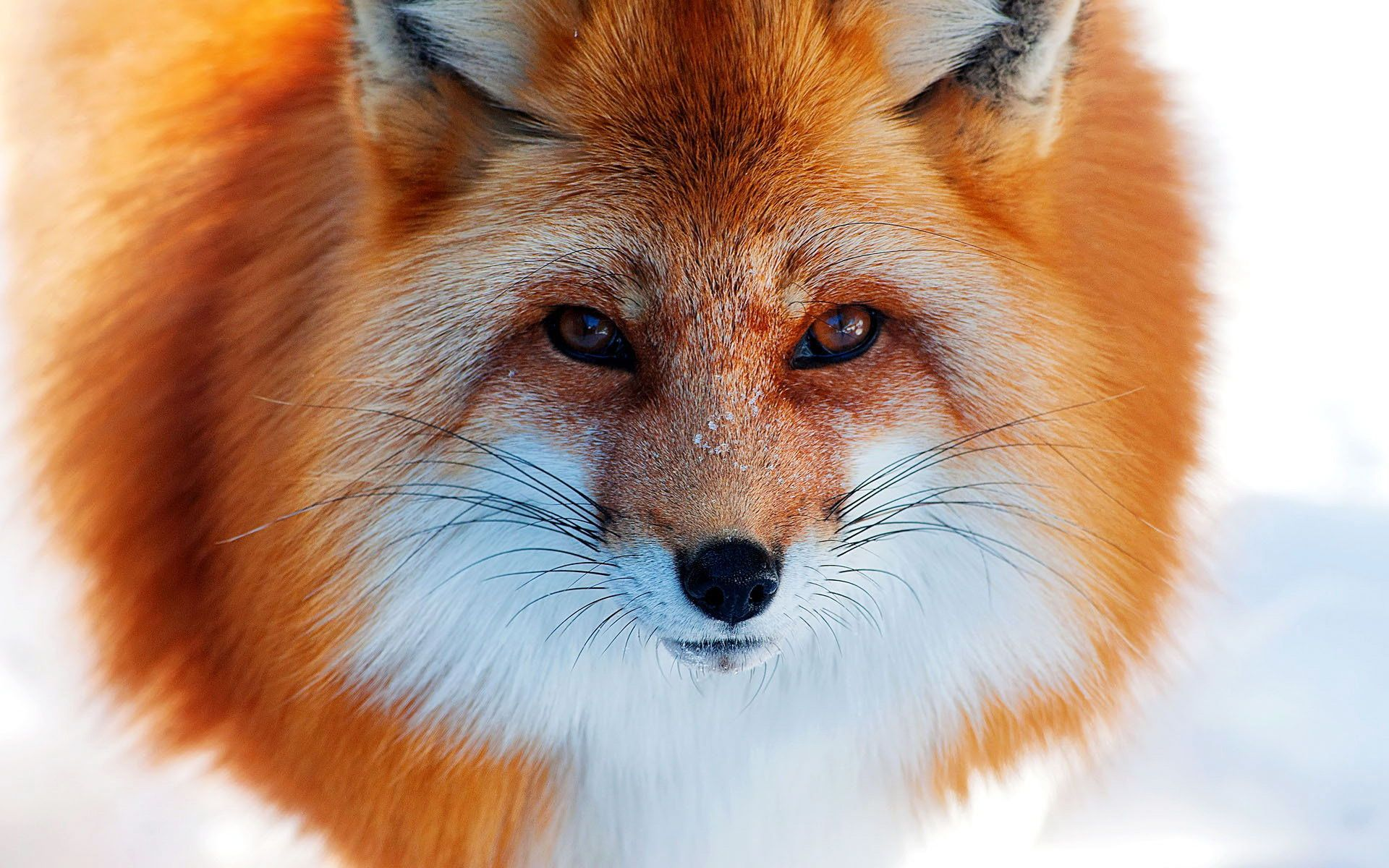 Cunning orange fox free wallpaper downloads Animals wild