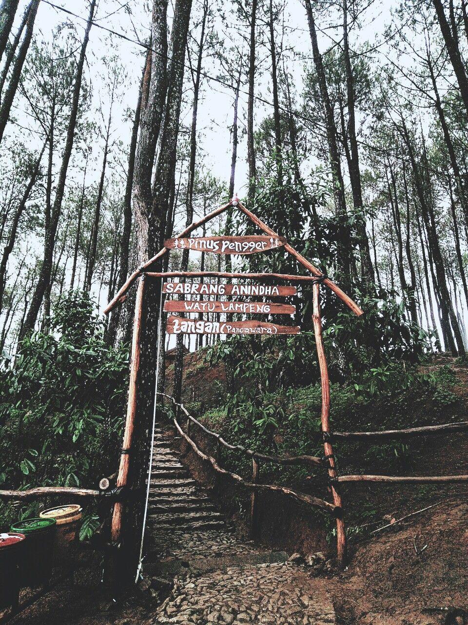 Hutan Pinus Pengger Pemandangan Hutan Wallpaper Ponsel
