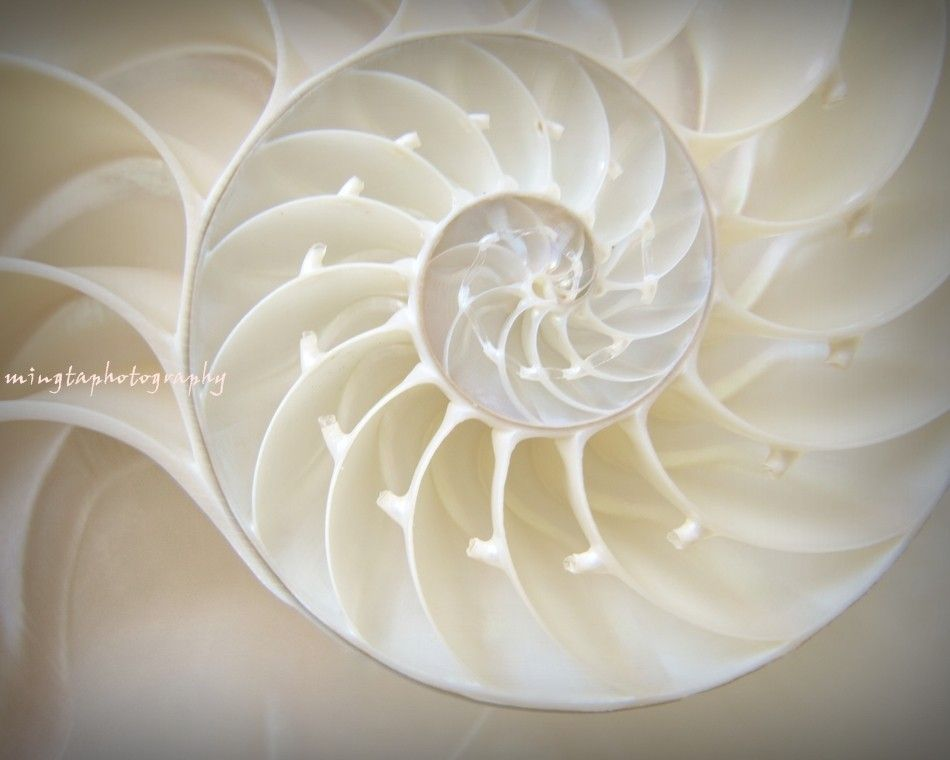 Ocean Dreaming Nautilus Shell Sea Shell By Mingtaphotography フィボナッチスパイラル フィボナッチ オウムガイ