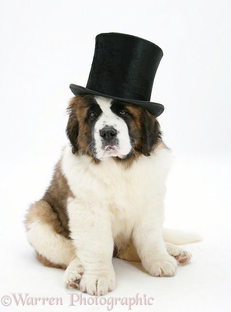 Who Wears A Top Hat Wp38507 Saint Bernard Puppy Vogue Wearing