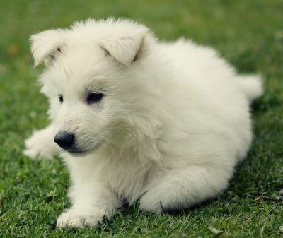 Pin Von Tina Punktchen Auf Weisse Schaferhunde Weisser Schaferhund Welpen Weisser Schaferhund Schaferhund Welpen