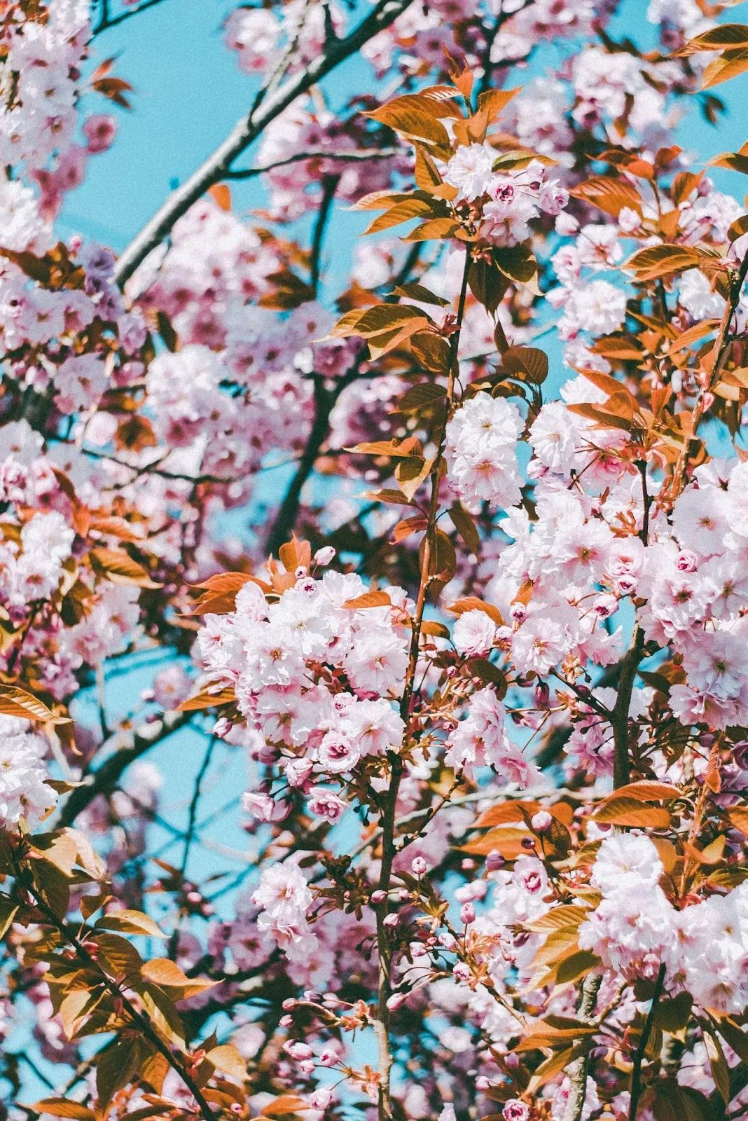 الأن خلفيات شاشة القفل اتش دي Hd Lock Screen Wallpapers In 2020 Cherry Blossom Wallpaper Cherry Blossom Flowers Backgrounds Phone Wallpapers