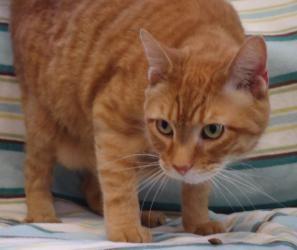 Adopt Carl On Cat Adoption Cats Petco