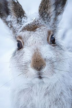 mountain hare by (Susanna Chan)