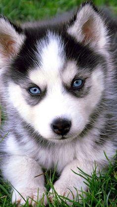 Baby White Husky With Blue Eyes : white, husky, Pomeranian, Husky, Puppy, Puppies,, Puppy,, Puppies