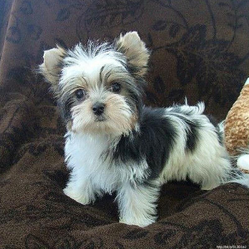 Awww So Cute Puppies Pets Biewer Yorkie