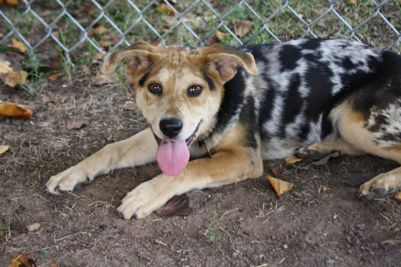 Adopt Chelsea On Blue Heeler Dogs Cattle Dog Australian Cattle Dog