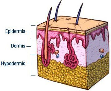 Image result for three layers of skin