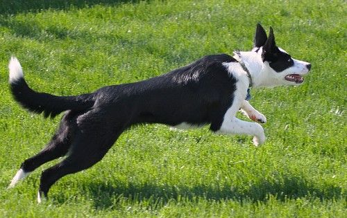 We Love Our Short Haired Border Collie Short Haired Border
