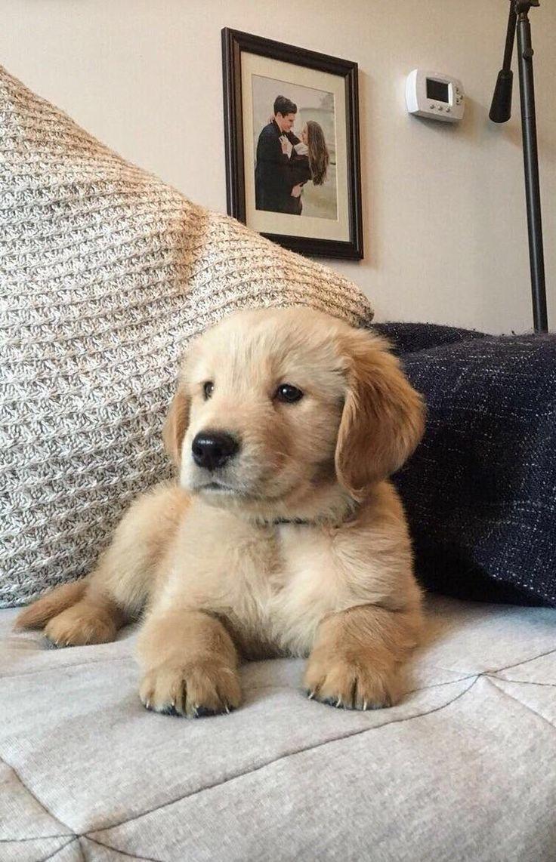 LED Pet Collar Blue / L Puppies, Golden retriever
