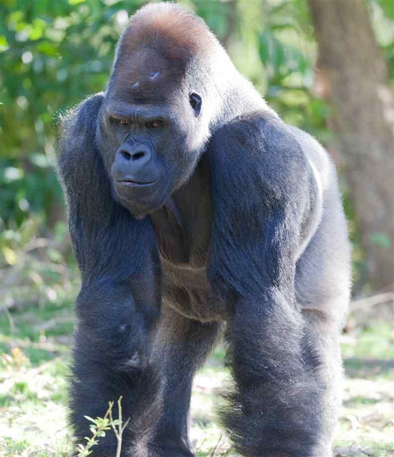 silverback gorilla | Gorillas, Gorilla Pictures, Facts, and ...