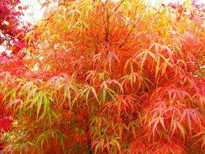Arce Japonés Katsura Acer Palmatum Katsura Arboles Para Jardin Acer Palmatum Arboles De Colores