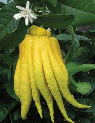 GRAFTED Buddha's Hand or Fingered citron Grafted Citrus Tree [GC031] 5-Year Replacement Guarantee by LarrysOrchids.com, http://www.amazon.com/dp/B0098MEMFA/ref=cm_sw_r_pi_dp_d7nEqb0BNAPRY
