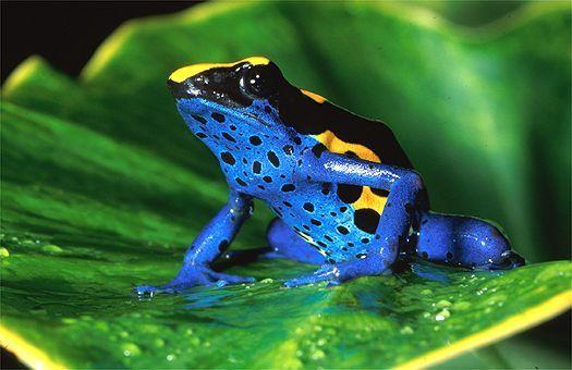 Dyeing Poison Arrow Frog Dendrobates Tinctorius In The Lowland