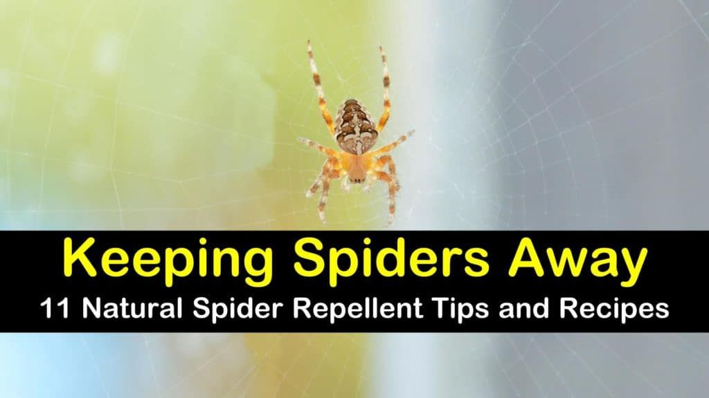 11 Easy To Make Spider Repellent Recipes Natural Spider