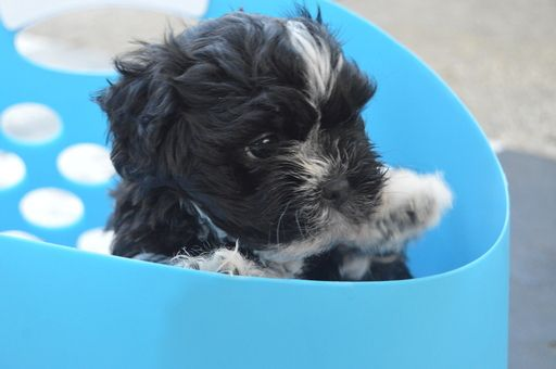 Havashu puppy for sale in JACKSONVILLE, FL  ADN-29047 on