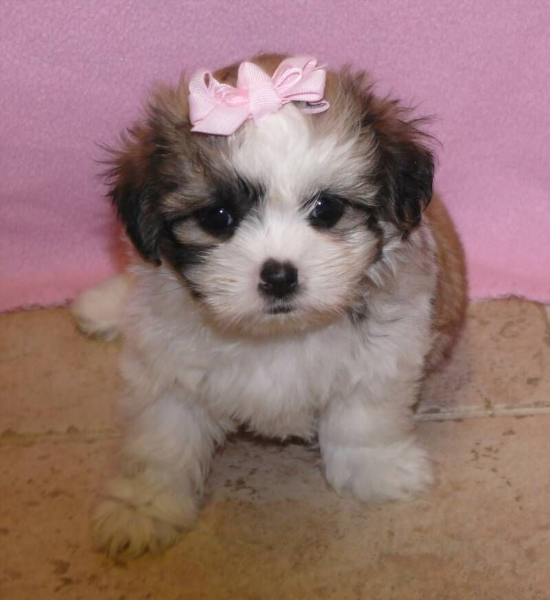 Malshi (Maltese x Shih Tzu) Teacup puppies maltese