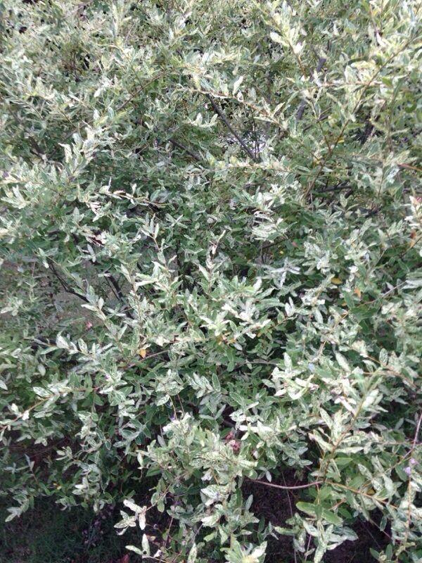 Free Plant Identification Dappled Willow Summer Garden Garden Maintenance