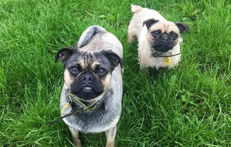 Adopt A Dog Gizmo Pug Dogs Trust Dogs Dog Adoption Dogs Trust