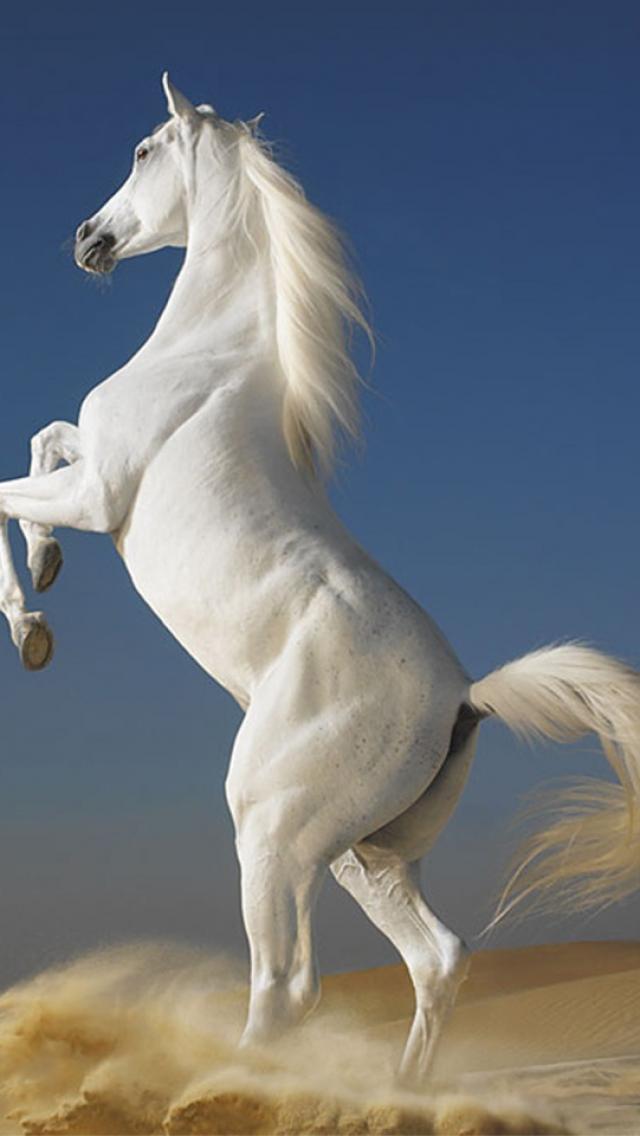 White Horse Animals 1136x640 Png 640 1136 Most Beautiful Horses Horses Horse Wallpaper