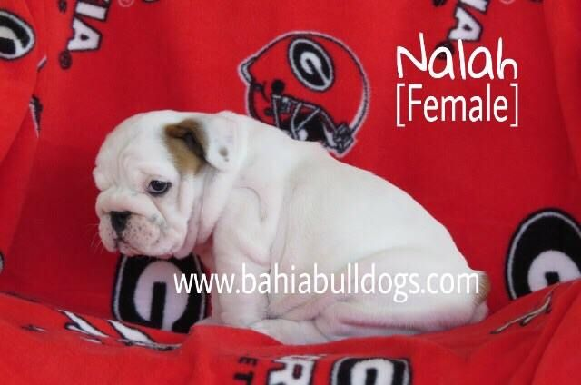Available English Bulldog Puppies Www Facebook Com