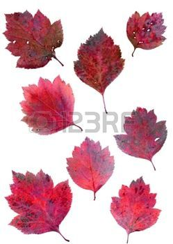 Hojas de oto o set of autumn leaves isolated on white - Descargar autumn leaves ...