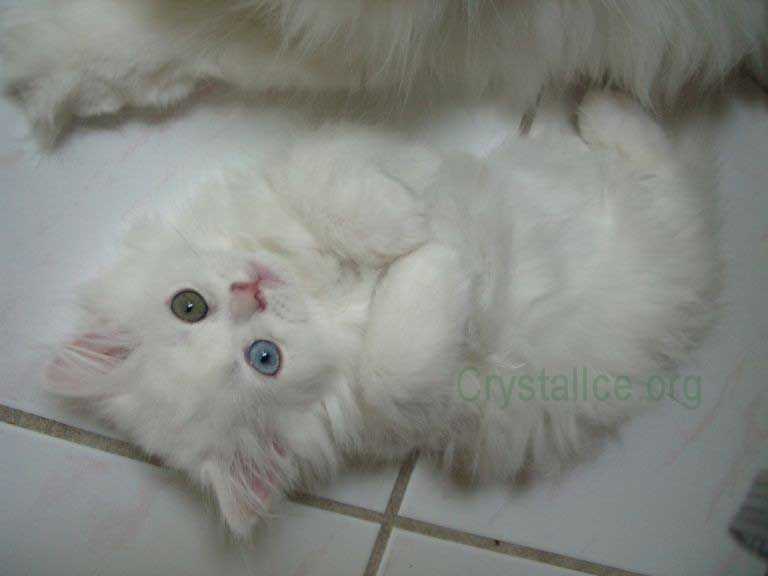 White persian cat with golden eyes