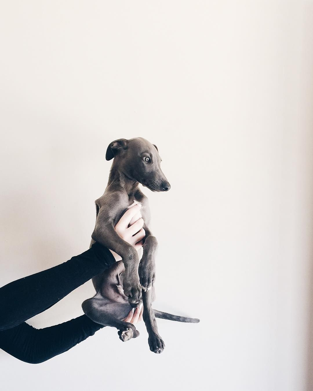 Ziggy The Blue Whippet On Instagram Such A Beauty