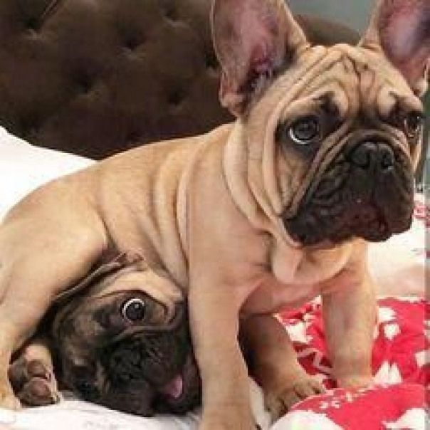 Are you one of the pug lovers or french bulldog lovers  If you do then our online store is 100 for you  SHOP NOW