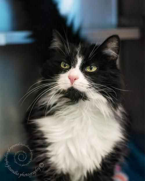 Image Result For Black And White Long Haired Cat Cats Long Haired Kittens Long Haired Cats