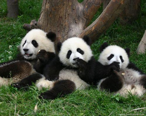 Three Little Pandas Sitting In A Row Panda Bear Panda