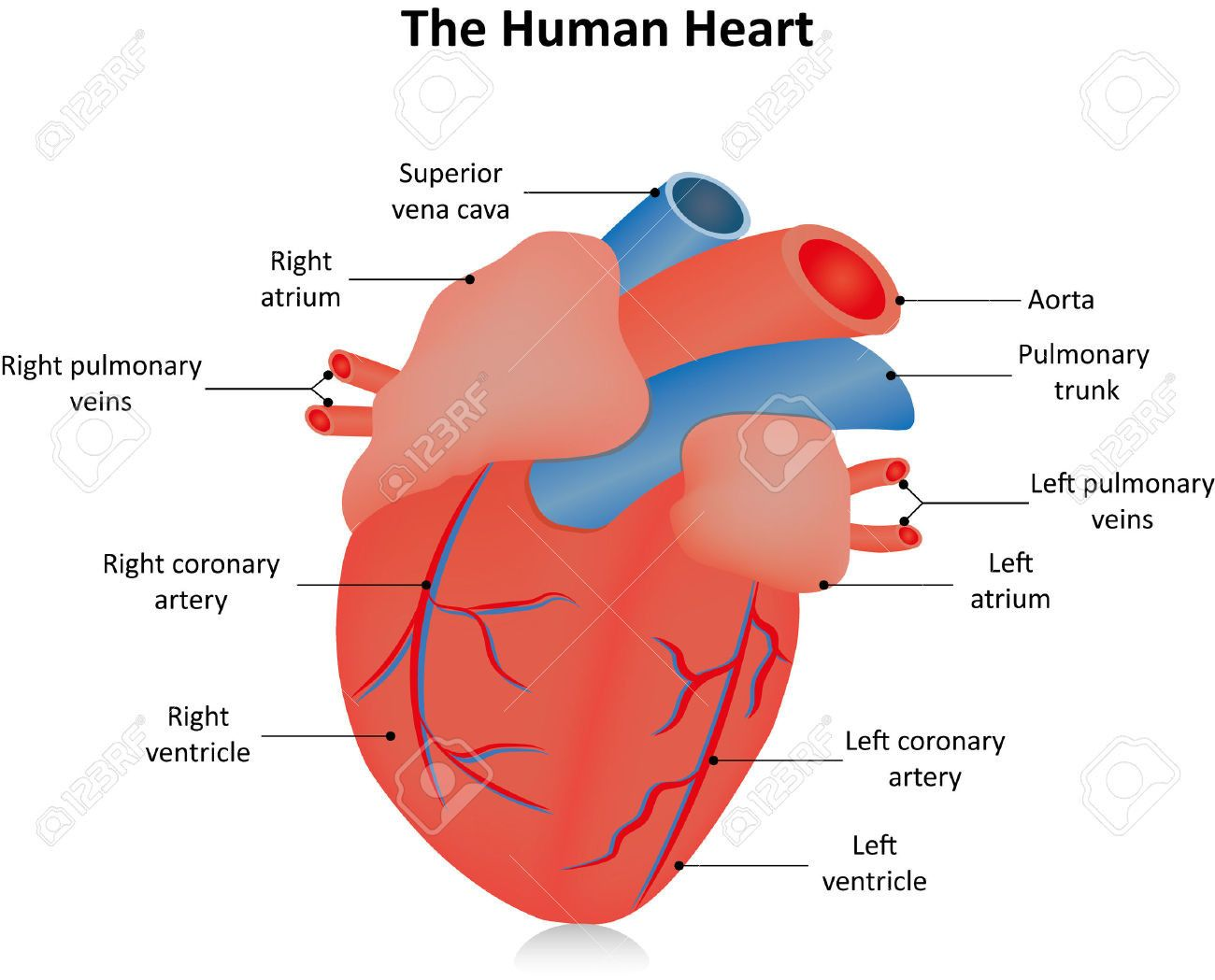 Picture Of The Heart Labeled New Labeled Clipart