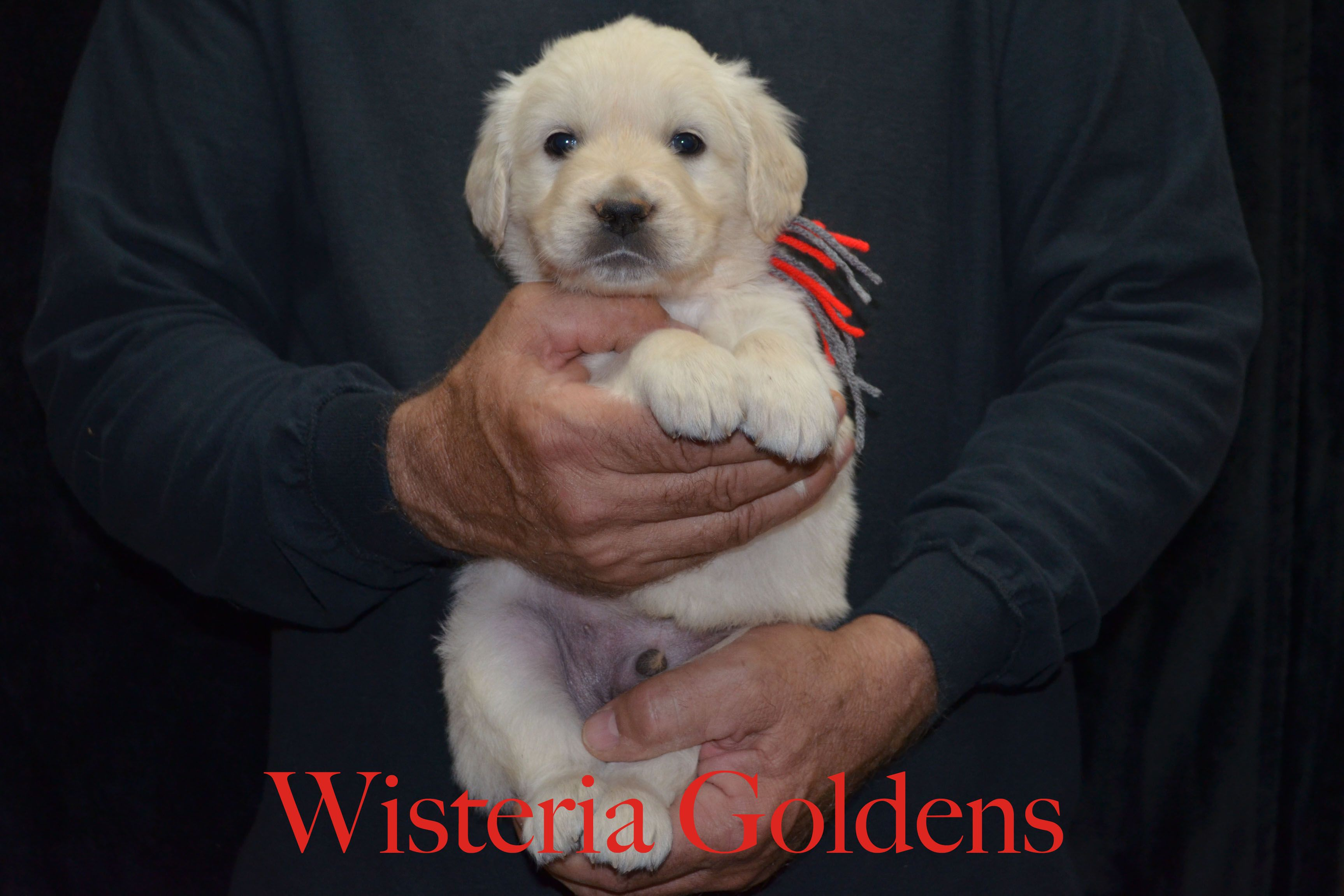 Wisteria goldens zoey litter puppies for sale golden