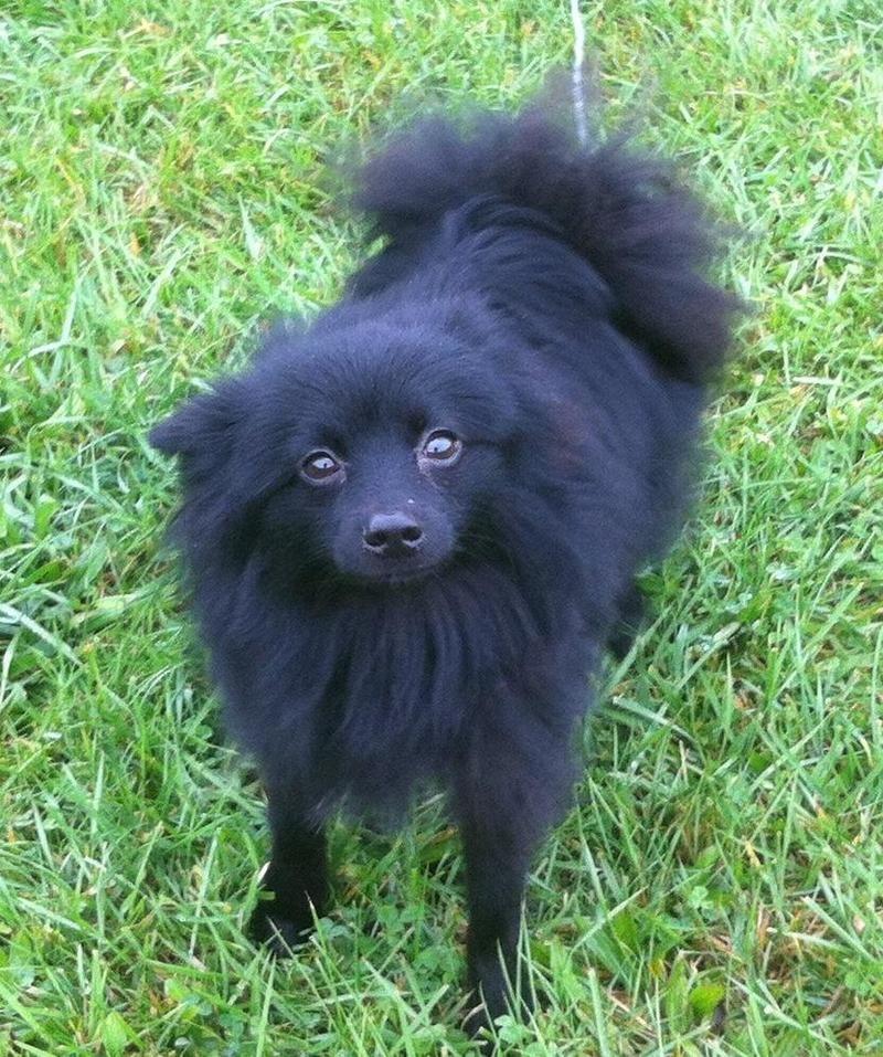 Adopt Loki On Schipperke Dog Rescue Dogs Animal Rescue