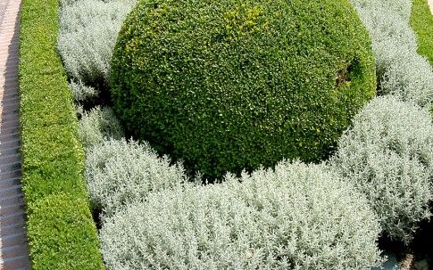 Santolina tomentosa (silver-grey)