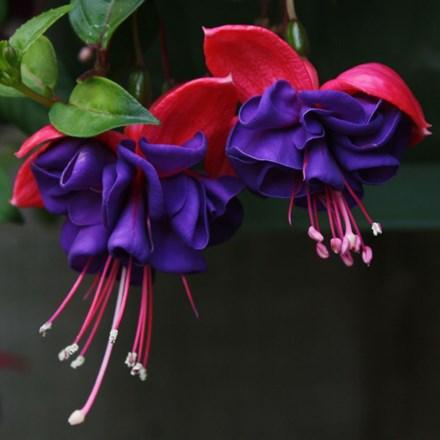Fuchsia Dark Eyes By Waitrose Garden In Association With Crocus Fuchsia Dark Eyes Petals