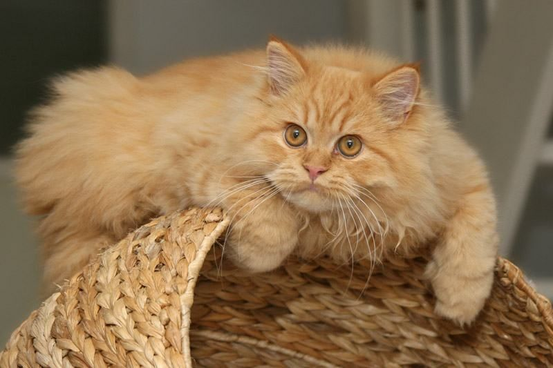 Orange Persian Cat Orange Persian Cat Names Info About Orange