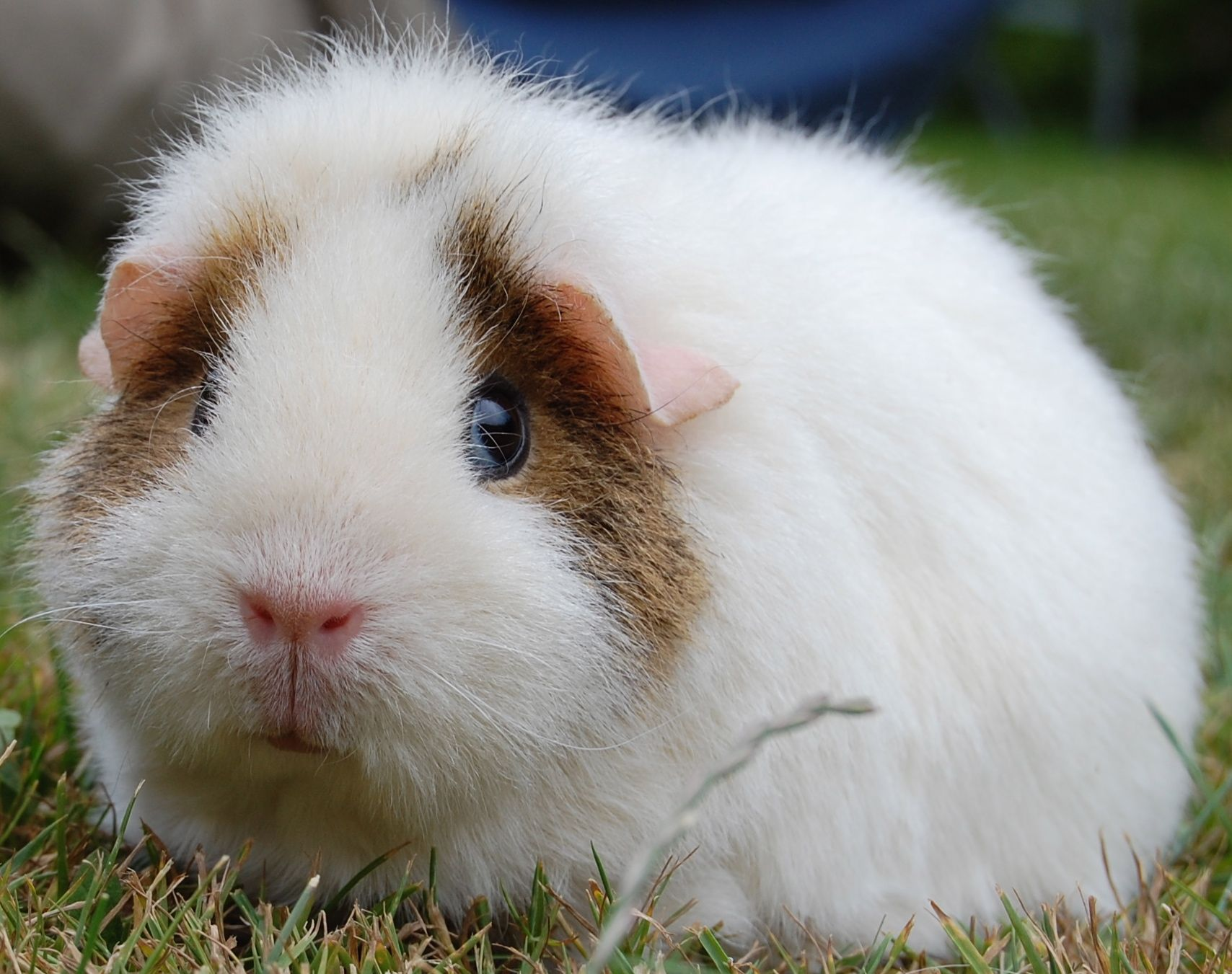 Pin On Cute Guinea Pigs