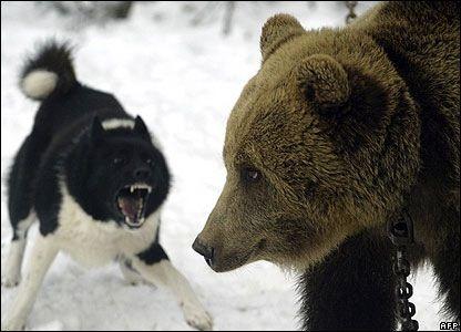 Bear Dog Hunde Akita Dog Akita Puppies