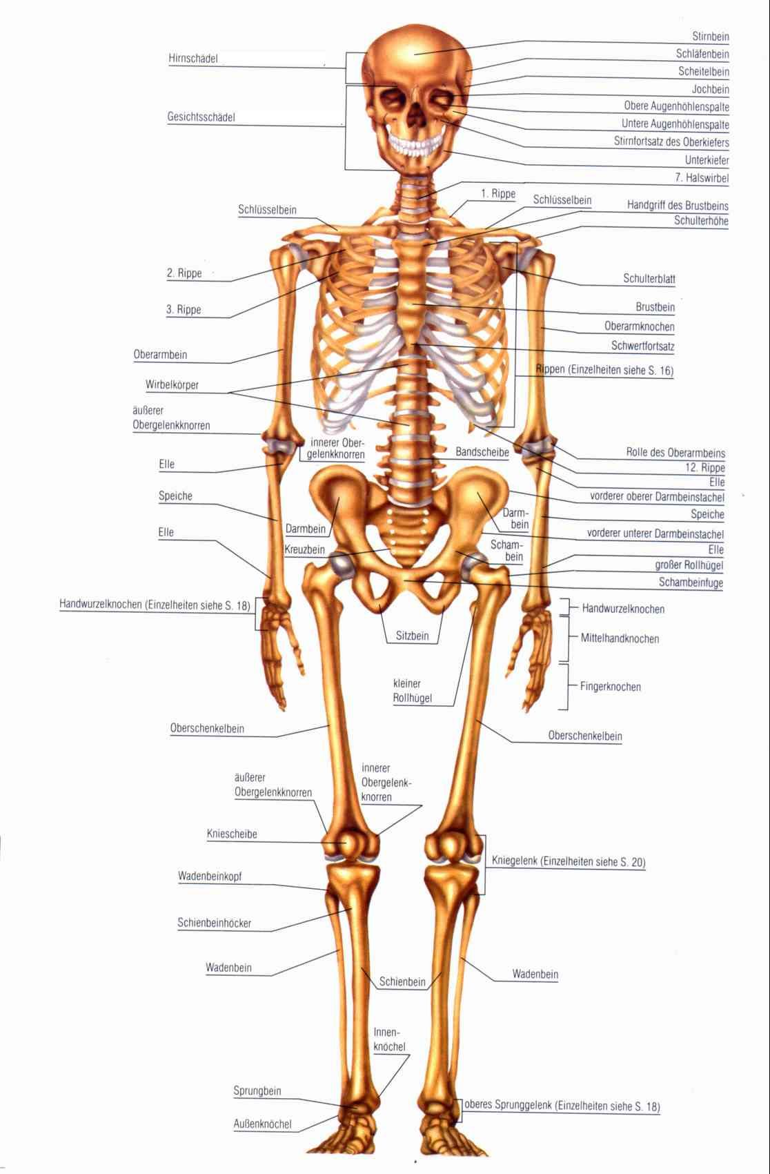 skelett | anatomie | Pinterest | Anatomy, Medicine and Yoga