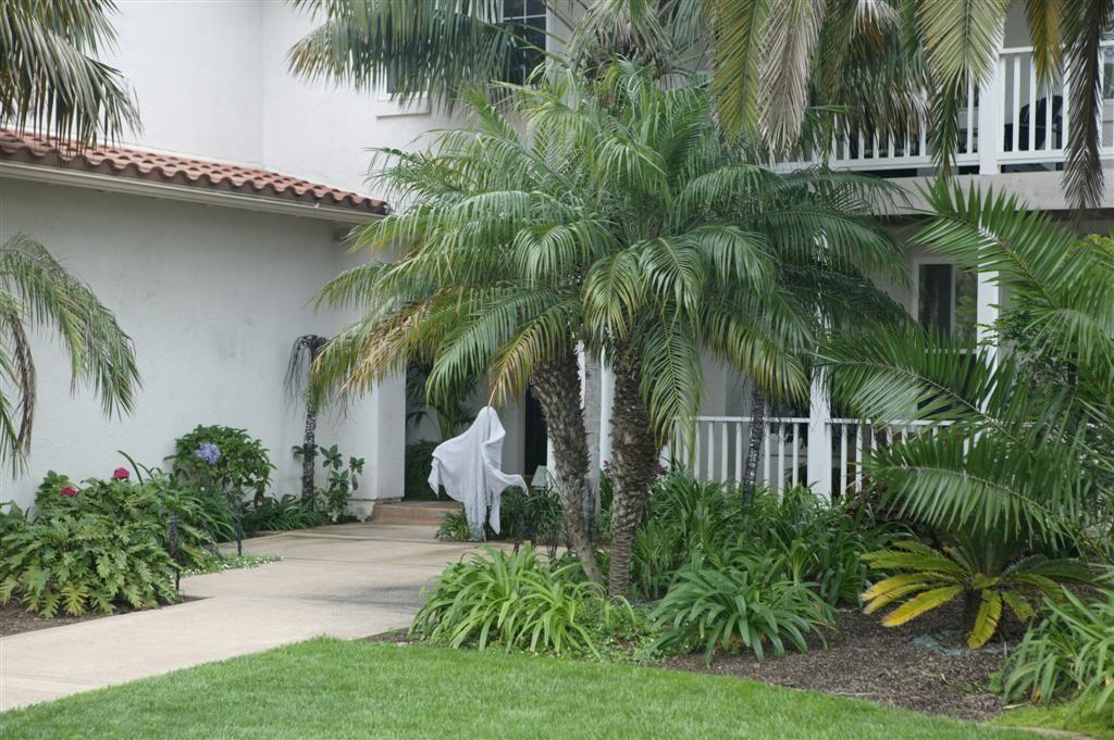Phoenix roebelinii multihead palm trees landscaping