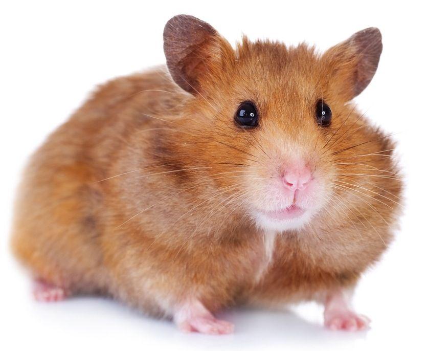 What Species Of Hamster Should I Get Hamster Syrian Hamster