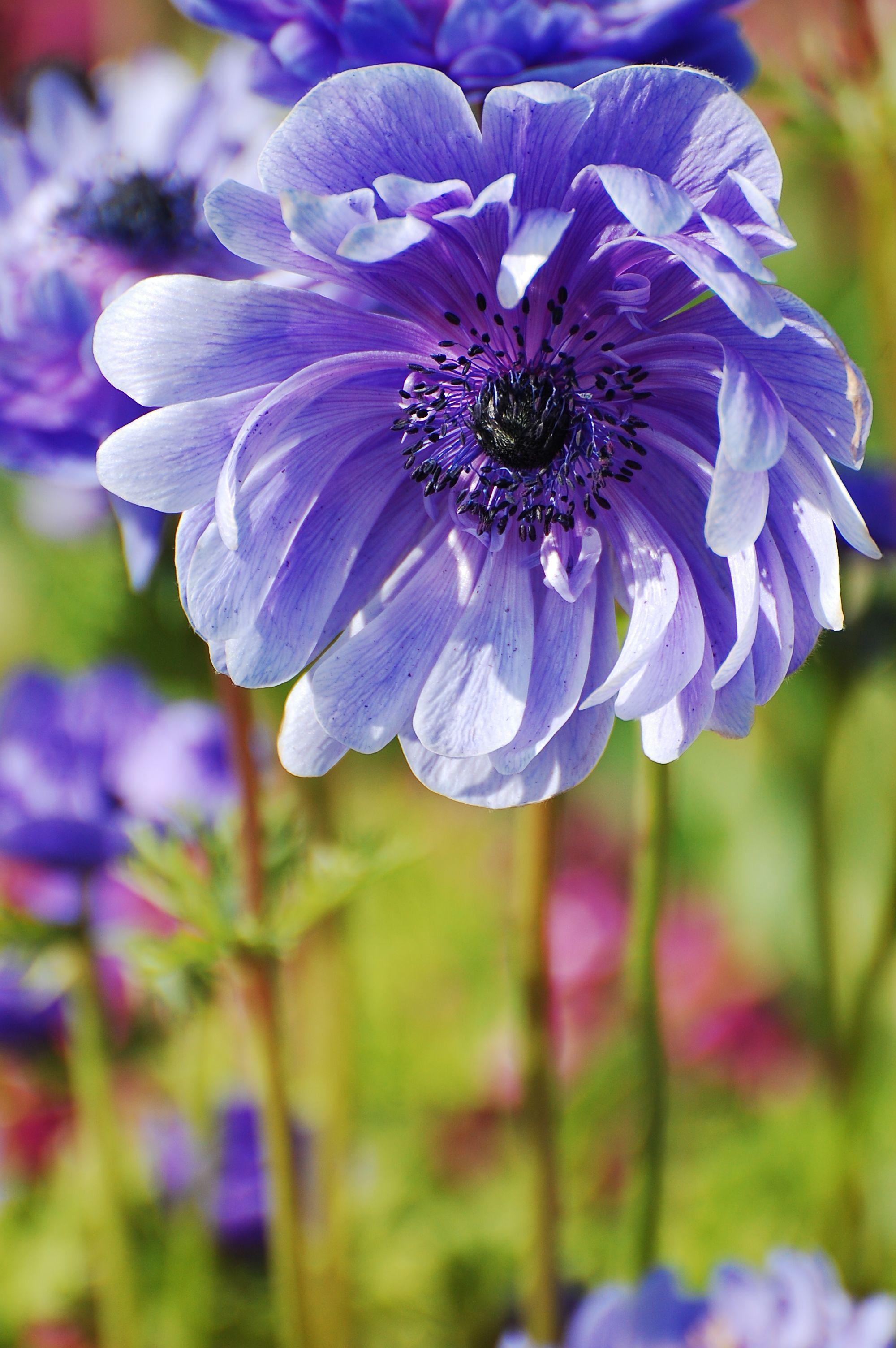 Purple Passion Plants, Nature, Photography