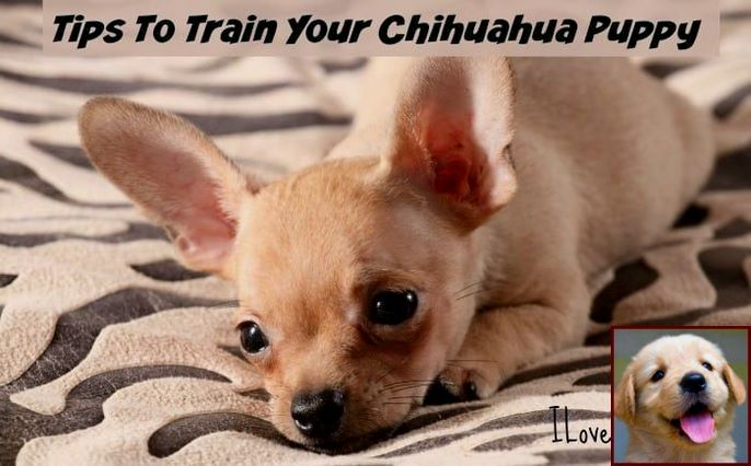 1 Have Dog Behavior Problems Learn About Dog Behavior Resources And Dog Training Classes Wichita Ks Chihuahua Puppies Dog Behavior Problems Dog Behavior