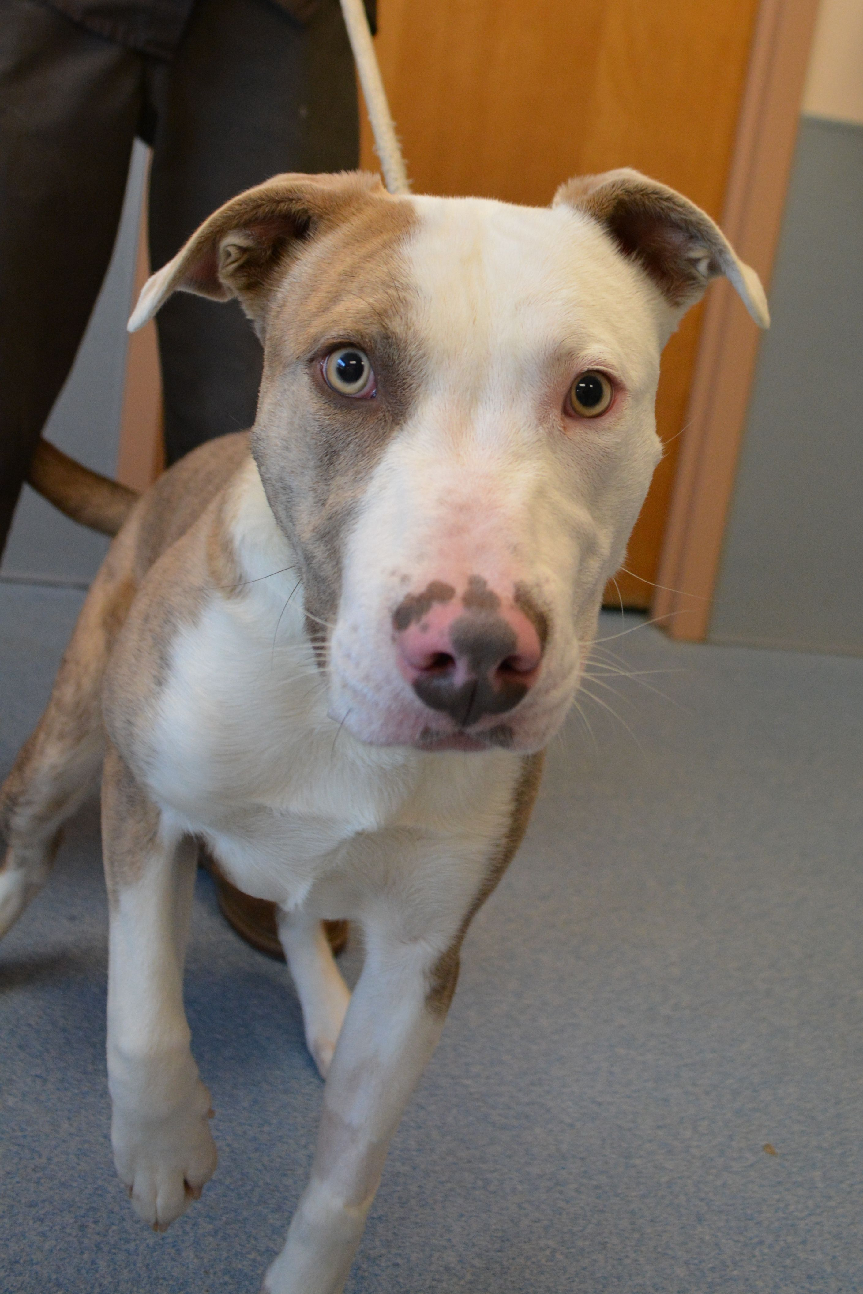 Available For Adoption Scrabble Is A Cute Male Pit Mix Who Is