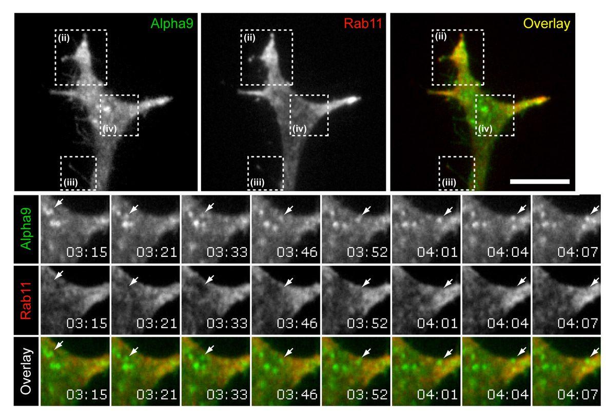 John van Geest Centre for Brain Repair» Axon Regeneration in the Central Nervous system