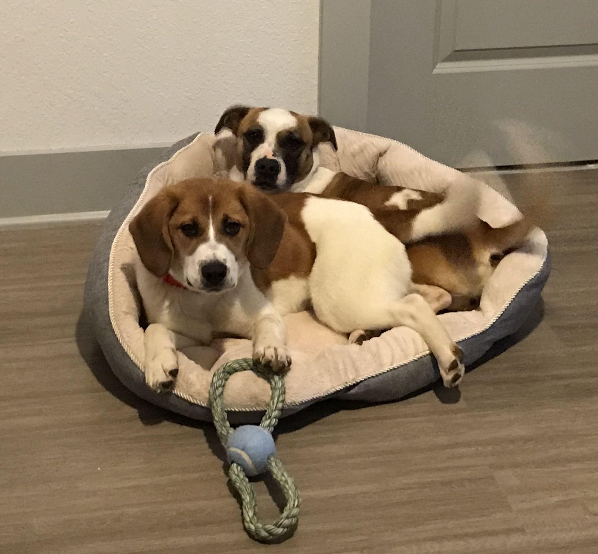 Bagle Hound Dog For Adoption In Asheville Nc Adn 814064 On